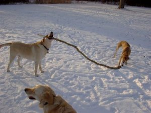 These two canines have the best stick ever. Note Gracie in the foreground looking to the left. This is why...