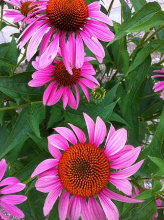 coneflower6_elengrey_july_2012