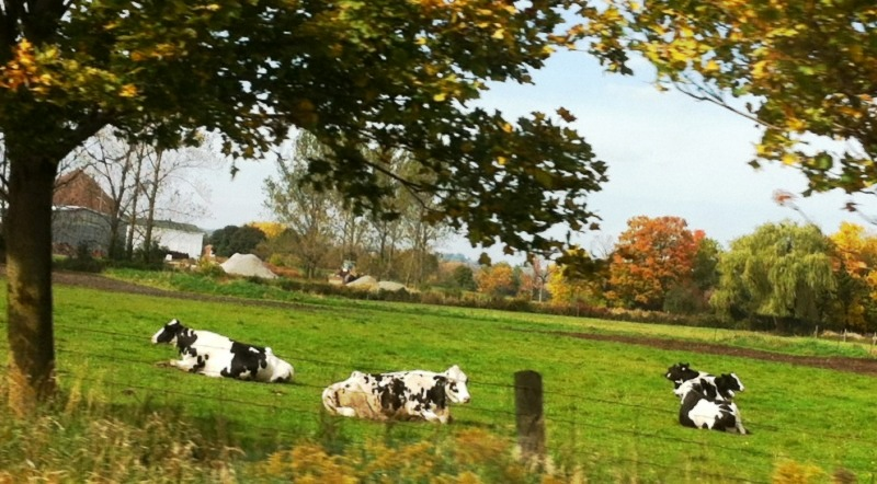 oreo_cows_elengrey_october_2012
