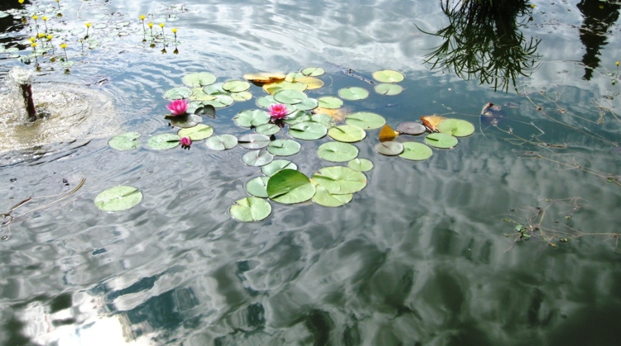 IMG_2894_2_lily_pool_elengrey_august_2011