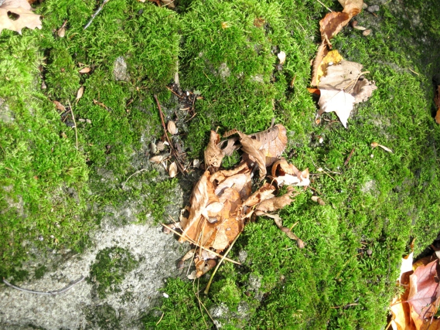 IMG_3115_moss_and_leaves_gatineau_park_elengrey_october_2011