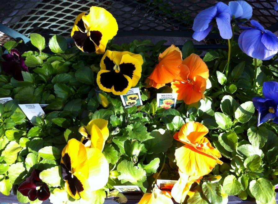 pansies_elengrey_april_2013 (1280x937)