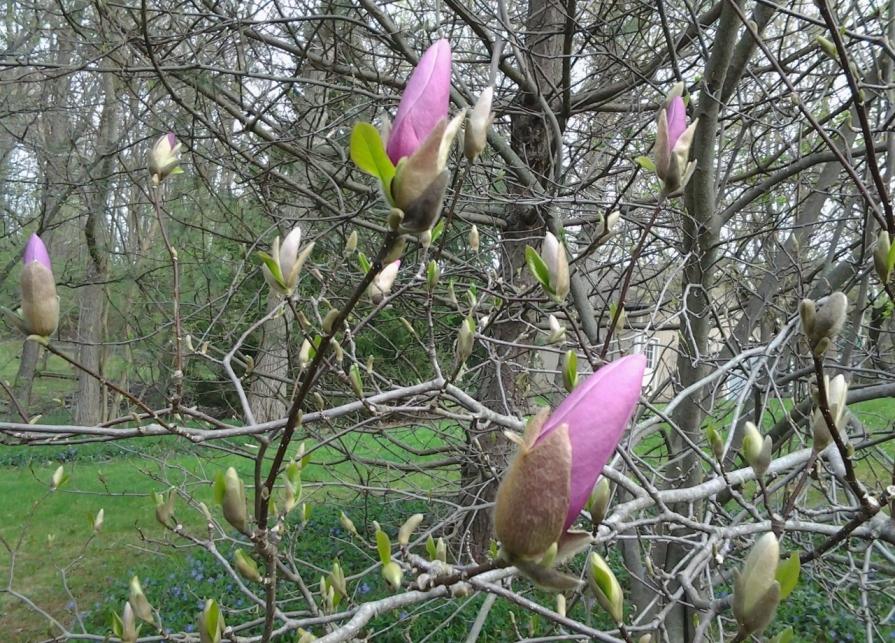 20130503_090744_saucer_magnolia_may_2013 (1280x921)