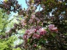 20130513_162355_cherry_blossoms_may_2013 (1280x960)