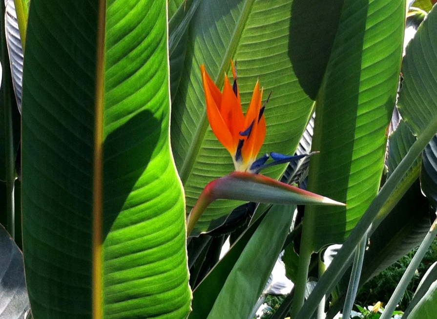 bird_of_paradise_longwood_gardens_elengrey_may_2013 (1280x934)