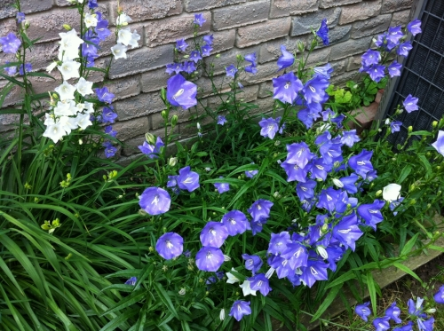 campanula_2_elengrey_june_2013 (1280x956)