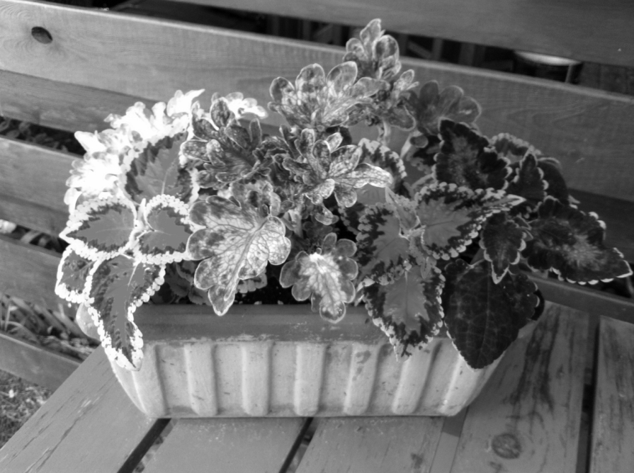 coleus_elengrey_june_2013 (1280x956)