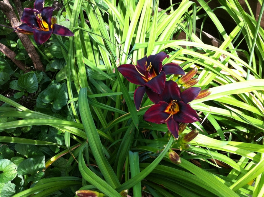 chocolate_daylilies_elengrey_july_2013 (1280x956) (2)