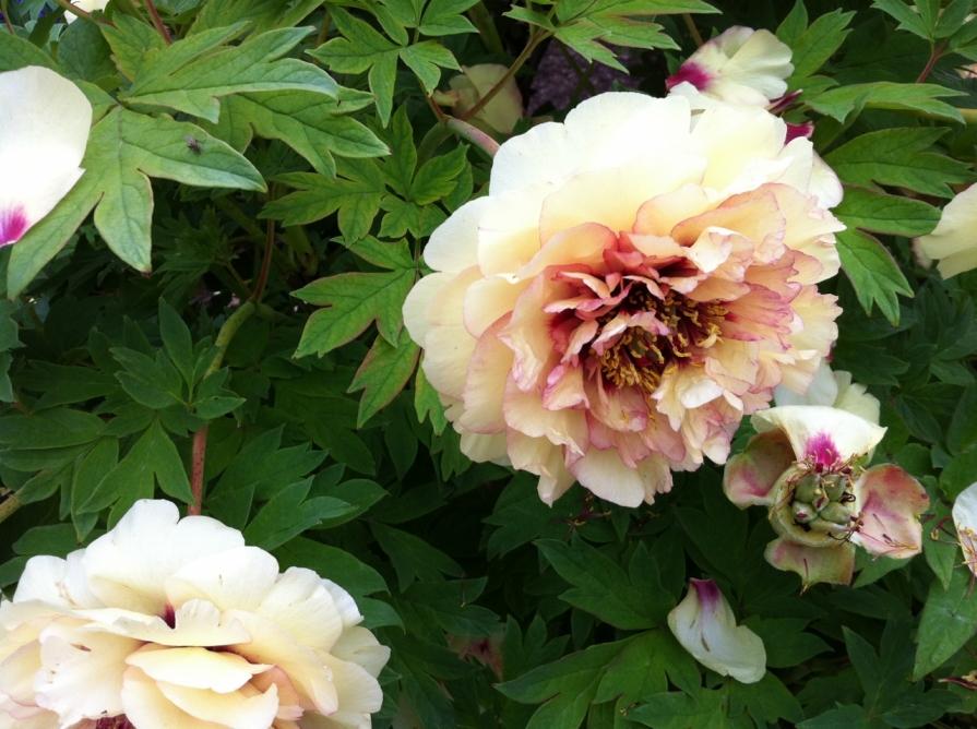peony_petals_elengrey_may_2013 (1280x956)