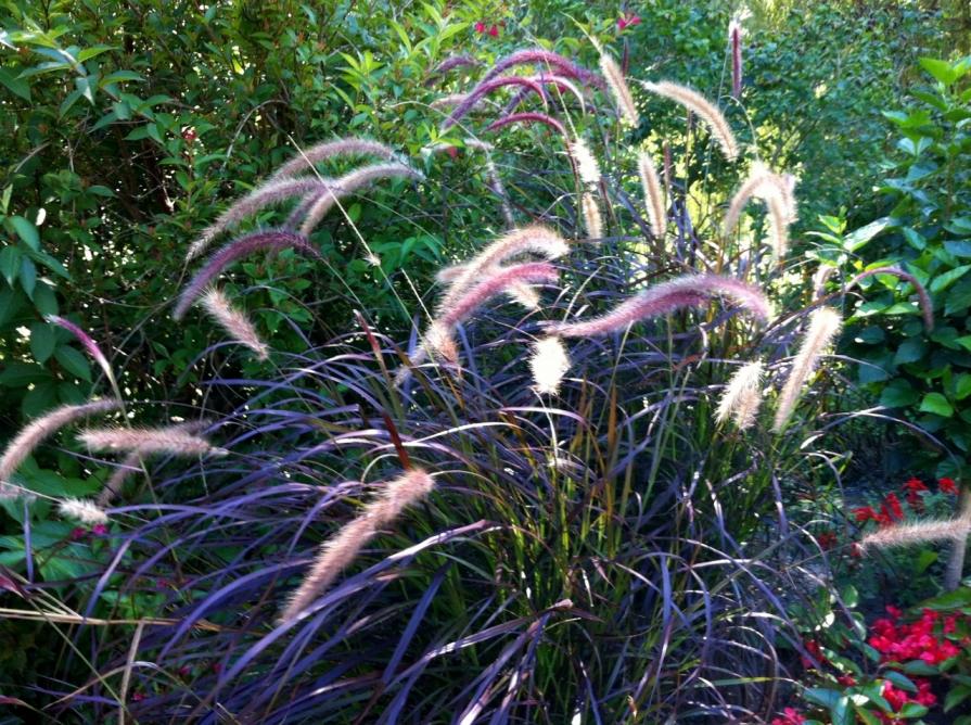 ornamental_grass_elengrey_september_2013 (1280x956)