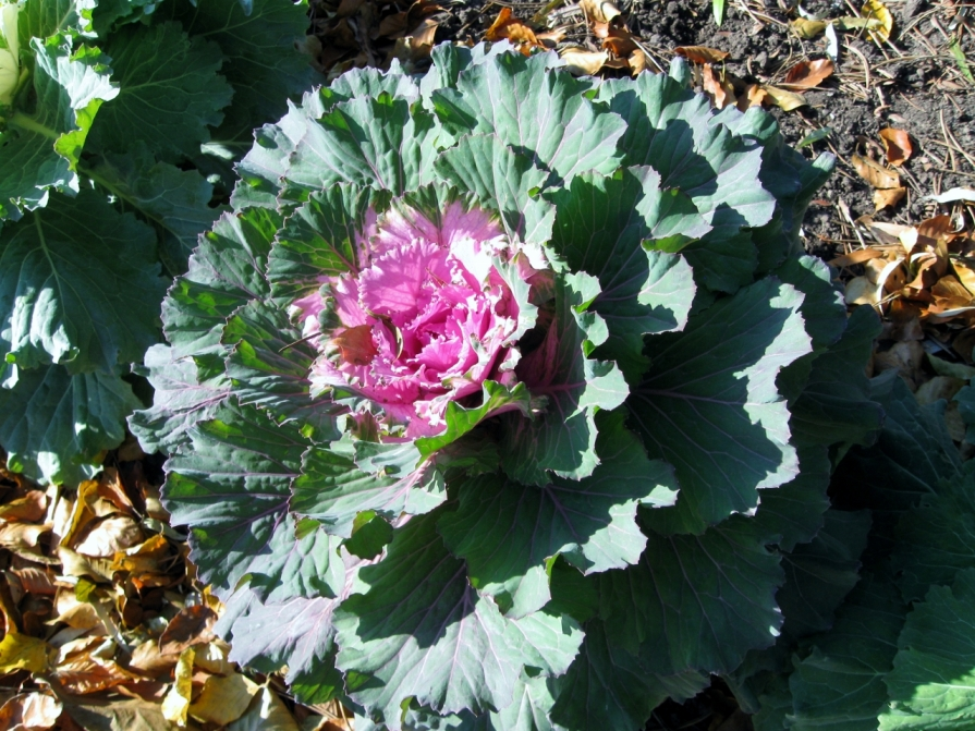 IMG_4432_ornamental_cabbage_november_2013 (1280x960)