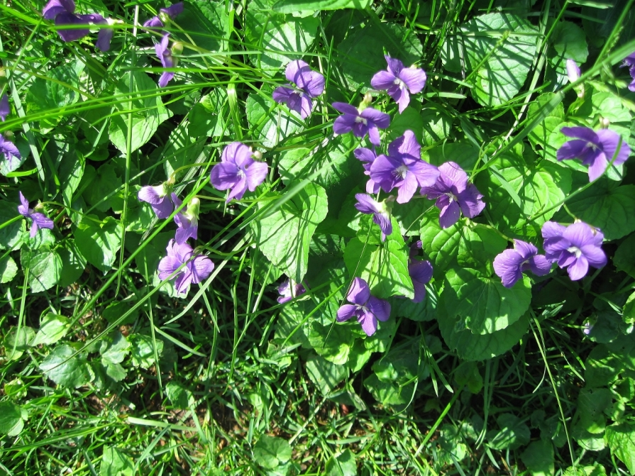 IMG_2485_common_violets_elengrey_may_2011 (1280x960)