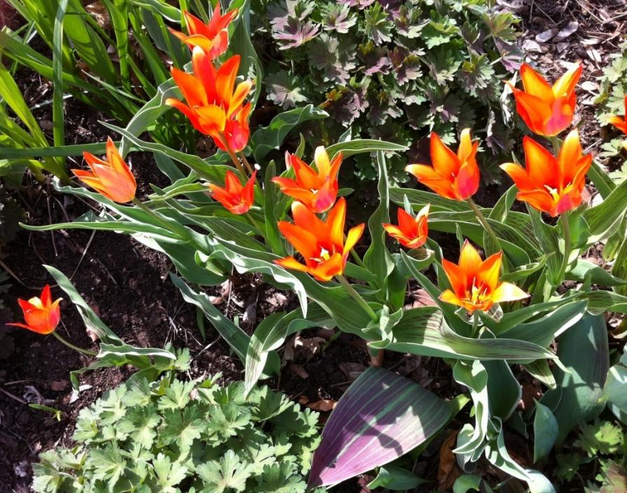 IMG_6272_tulips_edwards_gardens_elengrey_may_2014 (1024x805)