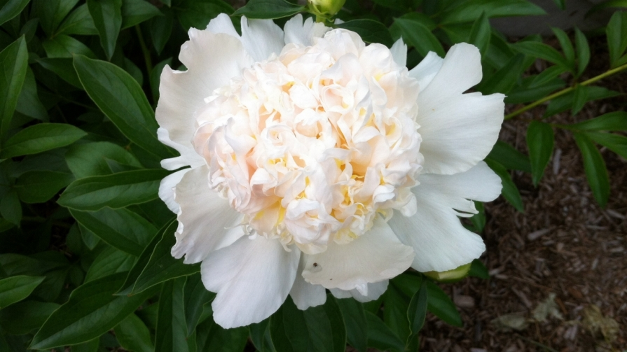 IMG_6660_first_peony_elengrey_june_2014 (1280x720)