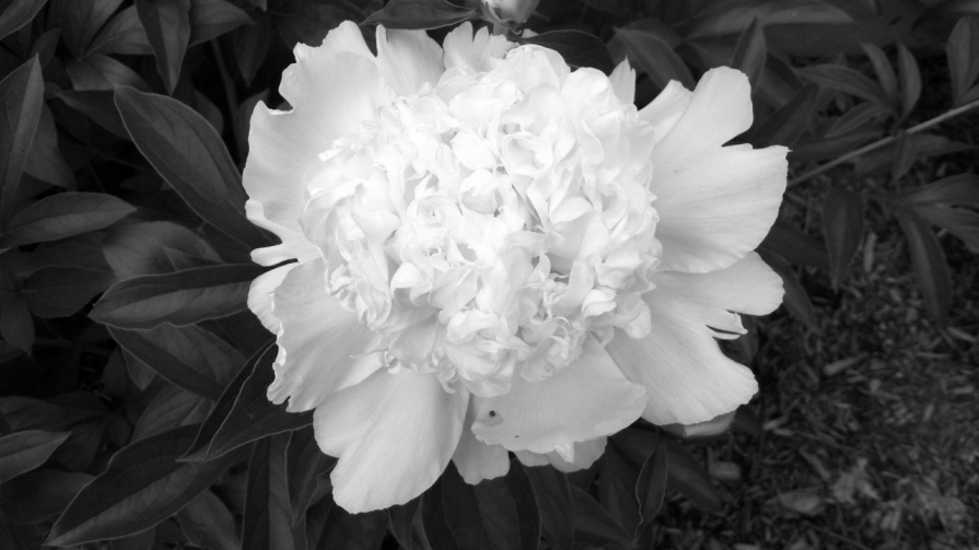 IMG_6660_first_peony_elengrey_june_2014 (2) (1280x720)
