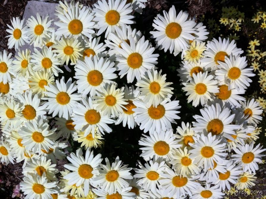 IMG_7022_banana_cream_daisies_elengrey_july_2014 (1024x765)
