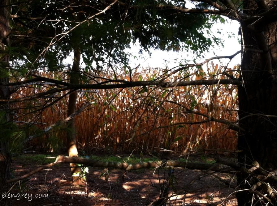 IMG_7980_lol_corn_september_2014 (1280x955)