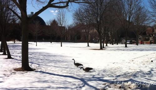 IMG_9716_canada_geese_2_elengrey_march_2015 (1280x742)