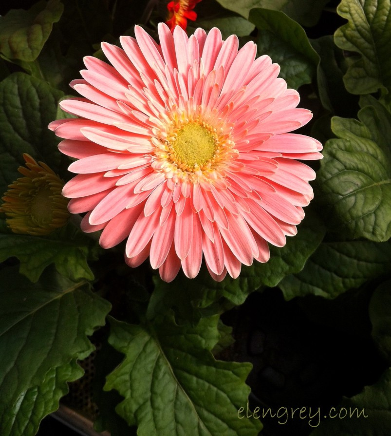 IMG_9739_gerbera_close_shot_elengrey_march_2015 (1148x1280)