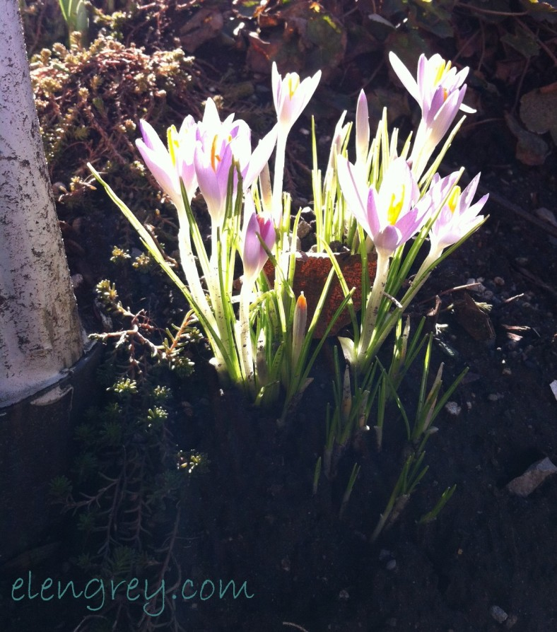 backlit_croci_elengrey_april_2015 (1127x1280)