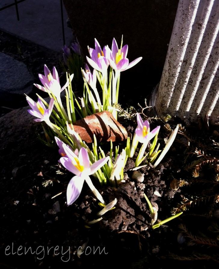 IMG_9976_frontlit_croci_elengrey_april_2015 (1041x1280)
