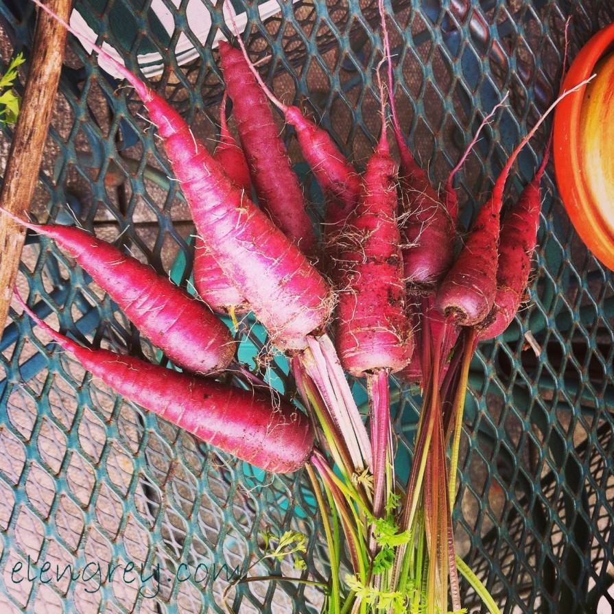 IMG_7334_purple_carrots_elengrey_september_2014 (1280x1280)