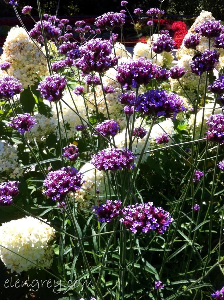 purple_and_white_elengrey_2013 (956x1280)