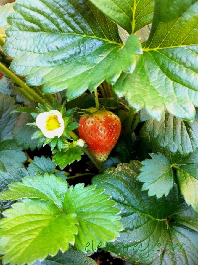 IMG_0393_strawberry_1_elengrey_june_2015 (956x1280)