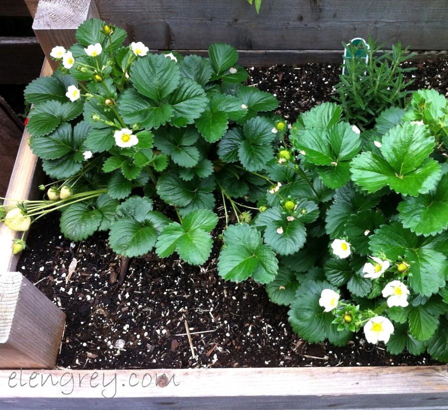 IMG_0453_strawberry_plants_elengrey_june_2015 (1280x1172)