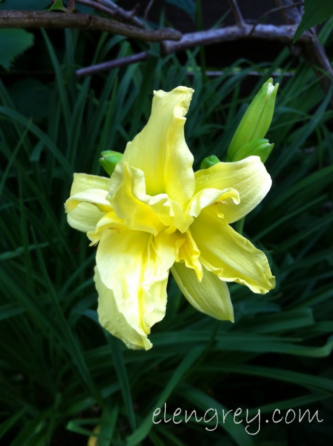 IMG_1185_yellow_daylily_elengrey_july_2015 (956x1280)