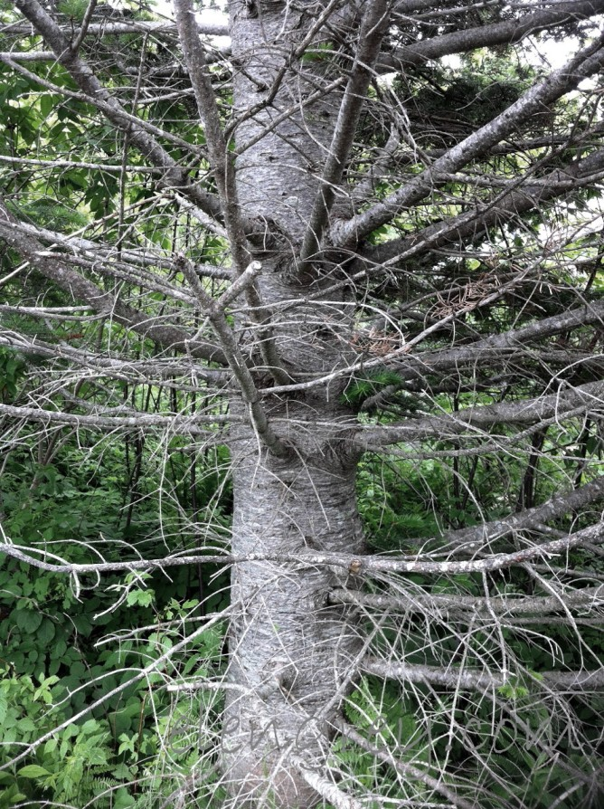 IMG_0954_tree_hopewell_rocks_2_elengrey_june_2015 (956x1280)