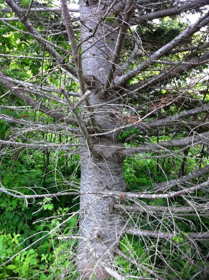 IMG_0954_tree_hopewell_rocks_elengrey_june_2015 (956x1280)