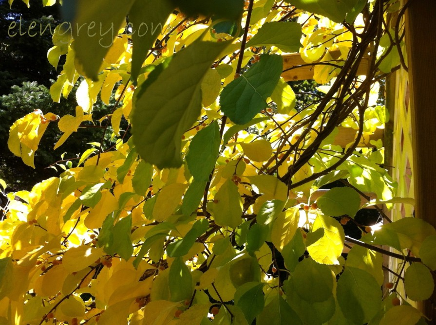 IMG_1834_autumn_vine_3_elengrey_september_2015 (1280x956)