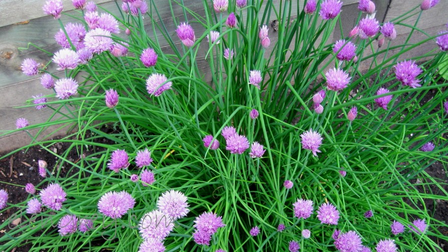 IMG_0034_chives_elengrey_june_2009 (1280x720)