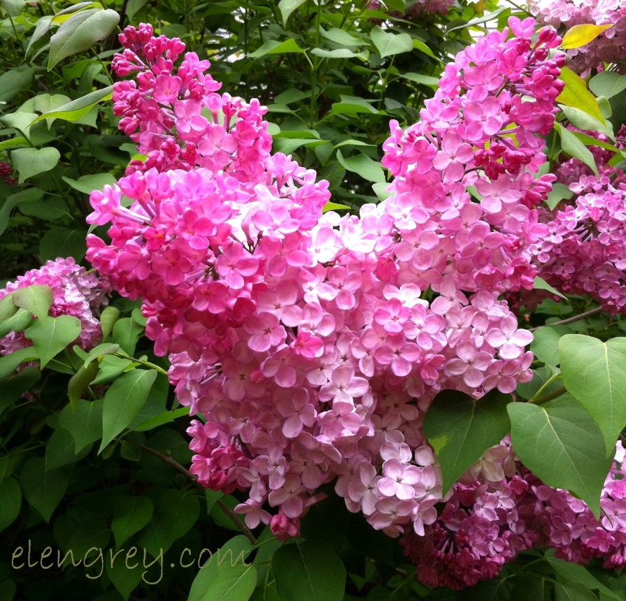IMG_0217_lilac_elengrey_may_2015 (1280x1230)