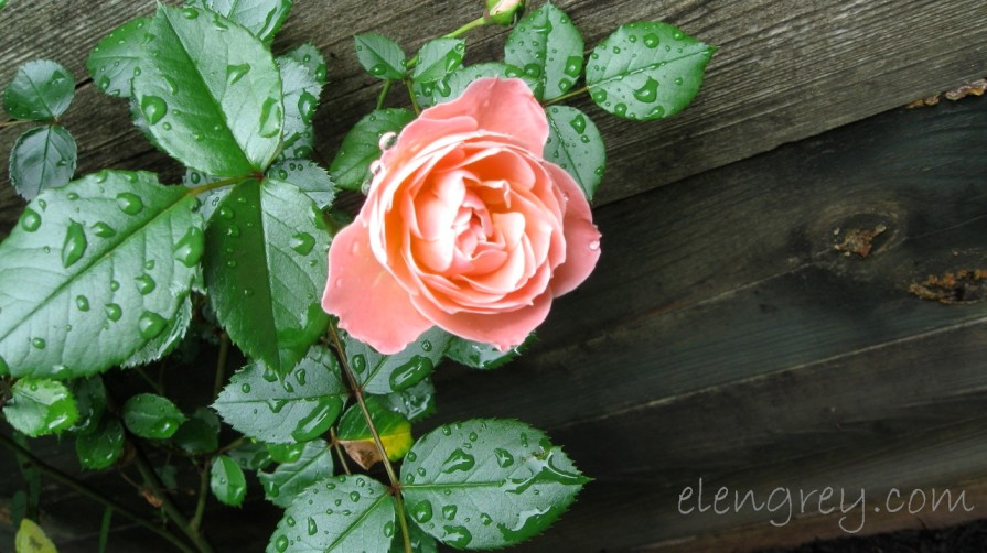 IMG_0870_pink_rose_elengrey_june_2011 (1280x719)