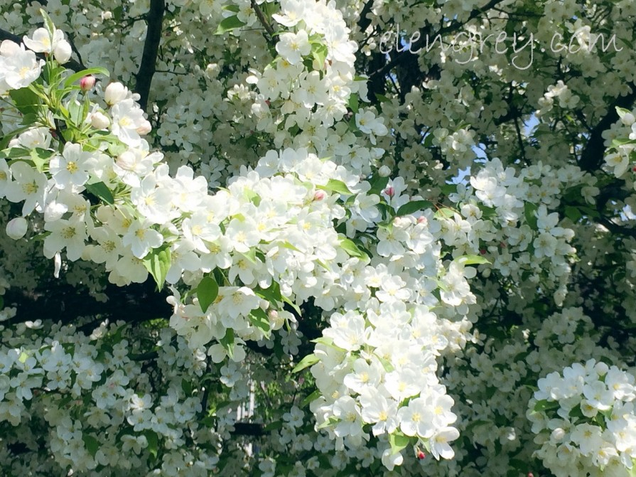 ottawa_all_blossoms_all_the_time_12_elengrey_may_2016 (1280x960)