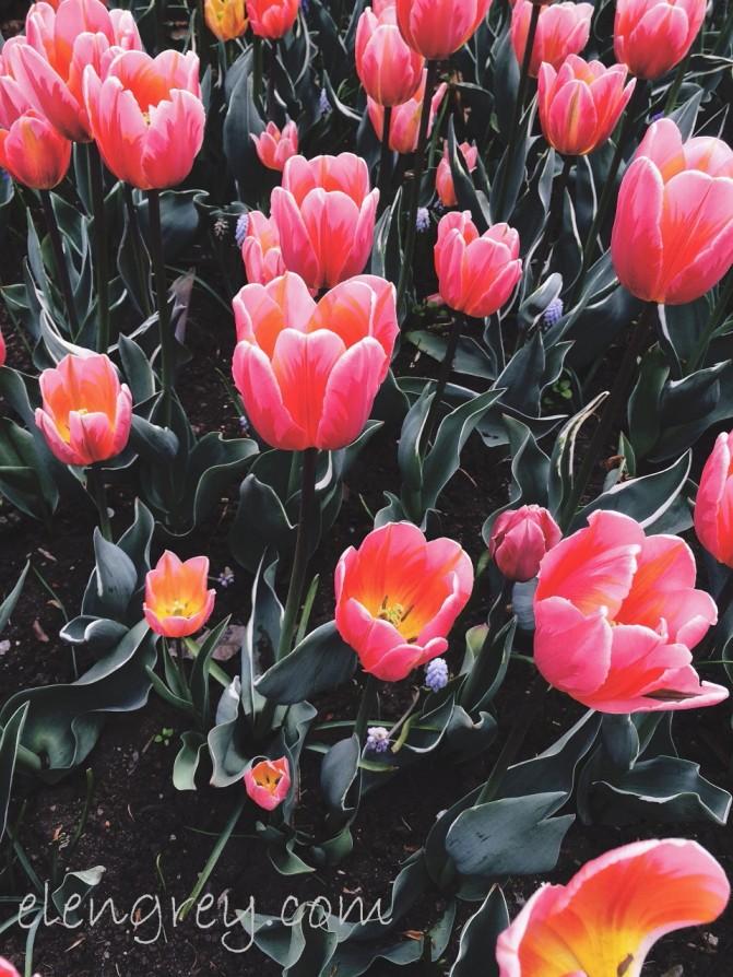 ottawa_tulip_festival_21_elengrey_may_2016 (960x1280)
