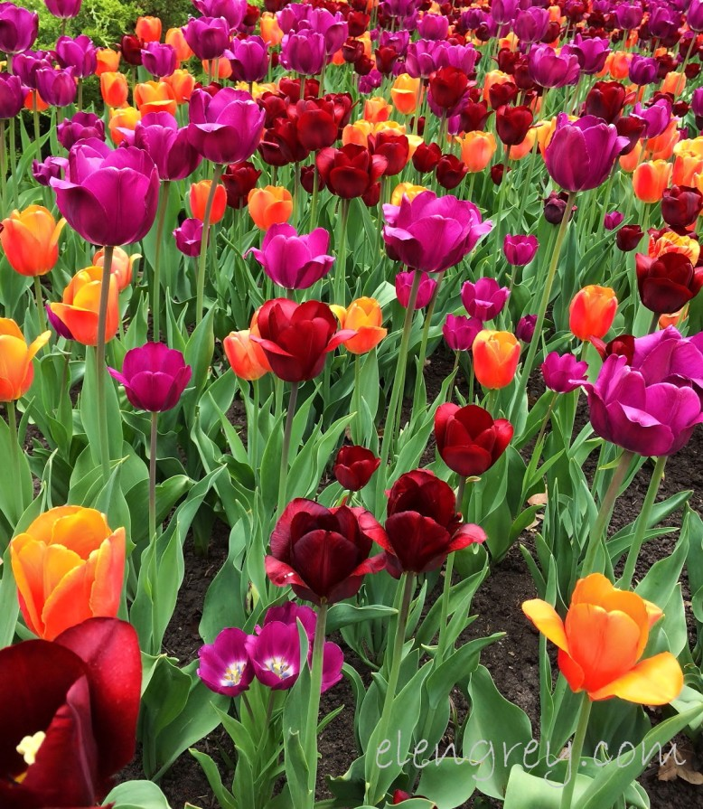 ottawa_tulip_festival_8_elengrey_may_2016 (1112x1280)