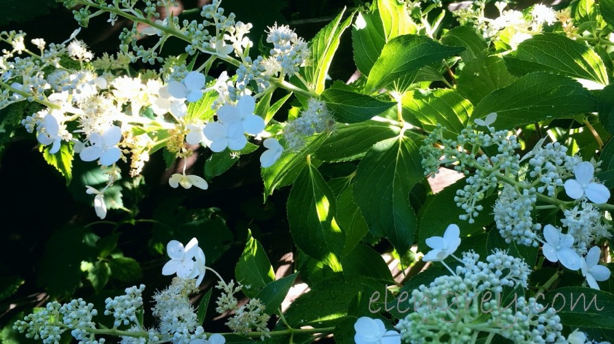 hydrangea_in_the_light_elengrey_august_2016 (1280x719)