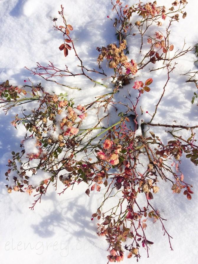 winter_fairy_roses_elengrey_january_2017-960x1280