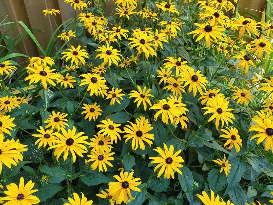 Rudbeckia, a beloved garden perennial.